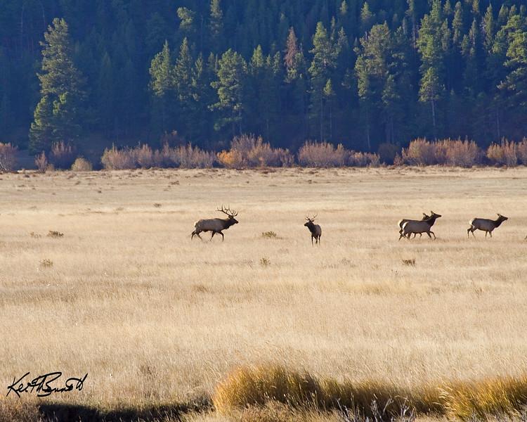 Big bull elk schooling a young elk