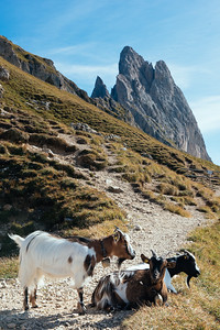 Goats in Seceda