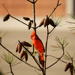 Beautiful bird (Northern Cardinal male) sitting on pine tree branch eating. Charlotte North Carolina USA.