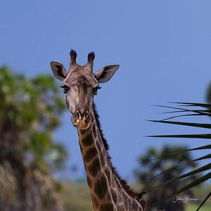 Giraffe, Selous