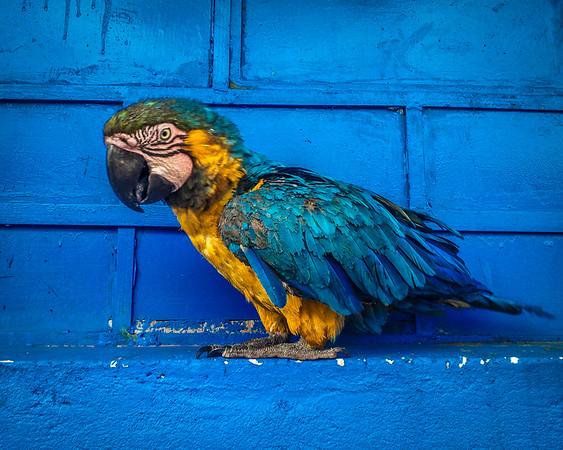 parrot-in-peru
