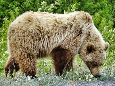 Grizzly Bear, Yukon Territory, Canada