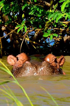 Hippo, Lake Chamo, Ethiopia