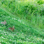 Rabbits on the green meadow. Charlotte, North Carolina, USA