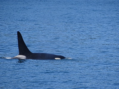 Orca, Resurrection Bay, Alaska