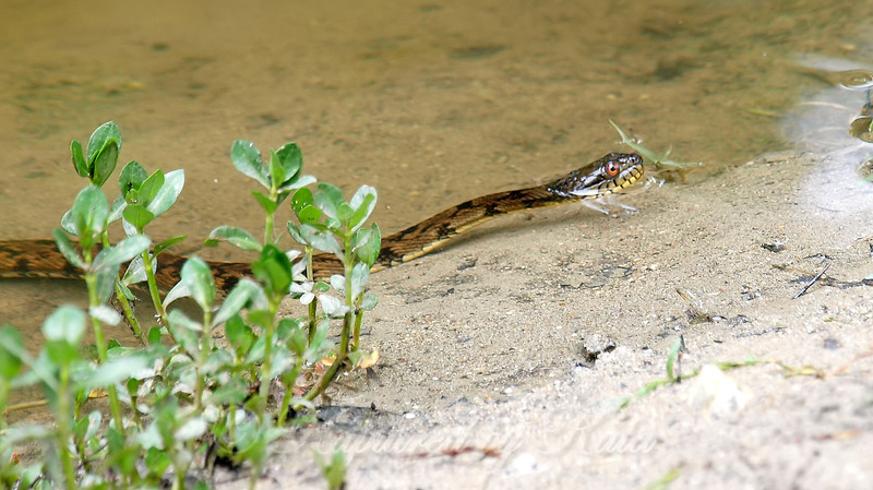 Young Water Snake