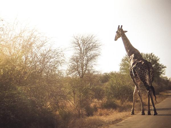 giraffe-in-kruger-park