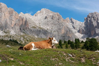 Cow in Seceda