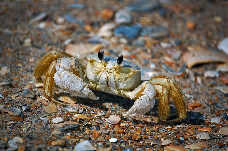 Ghost Crab. Emerald Isle, NC 2009