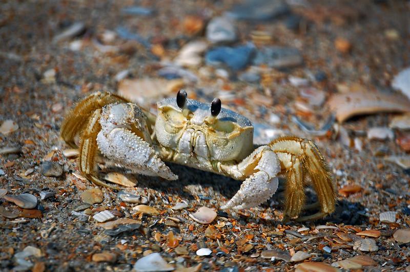 Ghost Crab. Emerald Isle, NC 2009