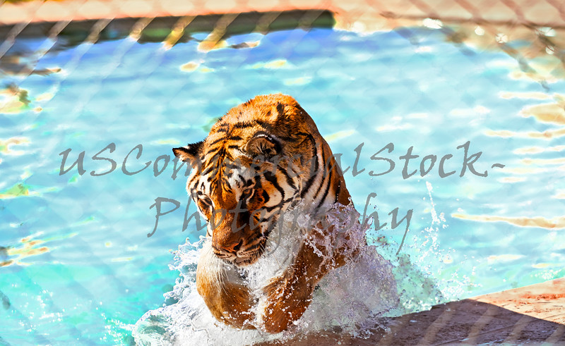 Tiger in a swimming pool