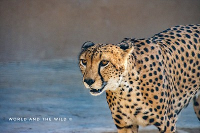 #Wildlife #Nature #Animals #Wildlifephotography  #Nikon #Naturephotography #cheetah #Predator #Fastestmammal