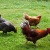 Cockerel and chickens running.