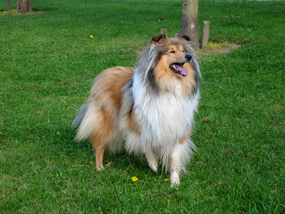 Rough collie lifting leg