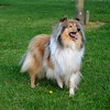 Rough collie with foreleg raised.
