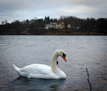 The Swan in Mälaren