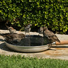 082816 Bird Bath - Salinas 001