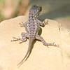 Tiny Baby Lizard