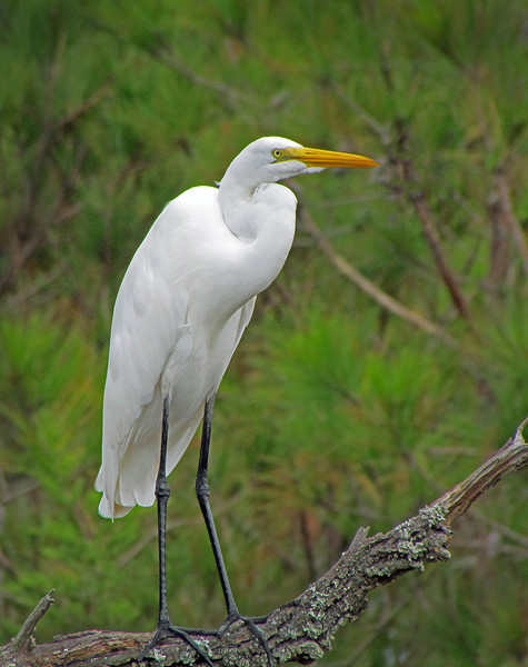 White Egret, Cedar Point NC. 2011