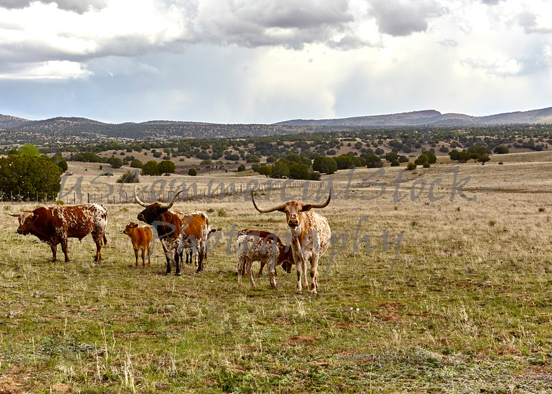 Longhorn Cattle on the Open Range