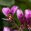 052117 NPC Garden - Bee and Pelargonium Cordifolium - Salinas 001