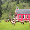 Roosevelt Elk Near Schoolhouse