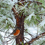 American Robin sitting on the branch on the snow covered pine tree.
