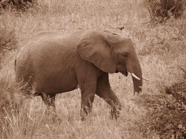 Baby elephant, sepia tone, Tarangire Natl. Park, Tanzania, East Africa