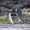 North American Raccoon View 1