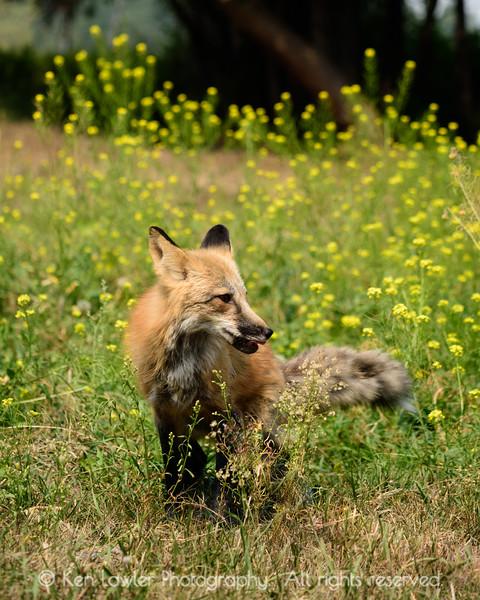 Fox and wildflowers I