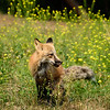 Fox and wildflowers I