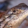 Texas Spiny Lizard Portrait