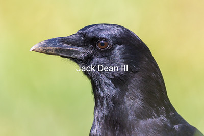 American Crow 4