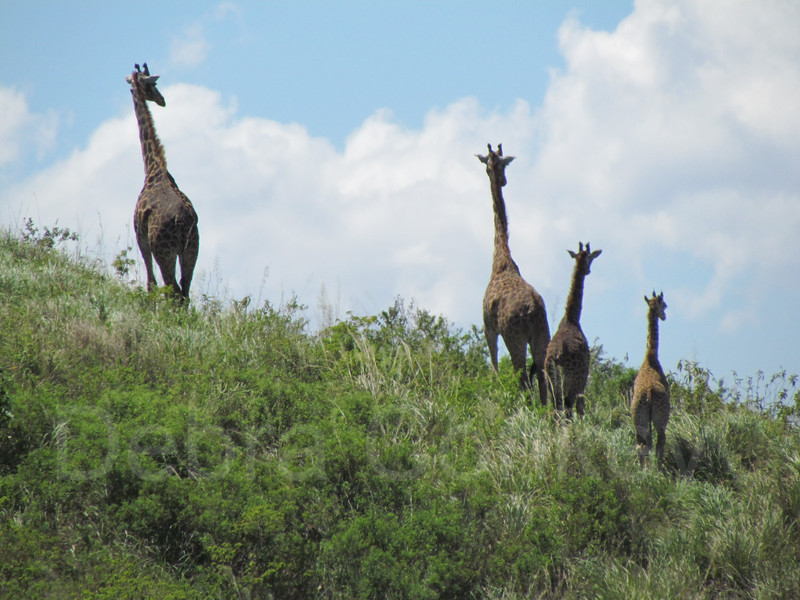 The lookouts, giraffes, Arusha National Park Tanzania, East Africa