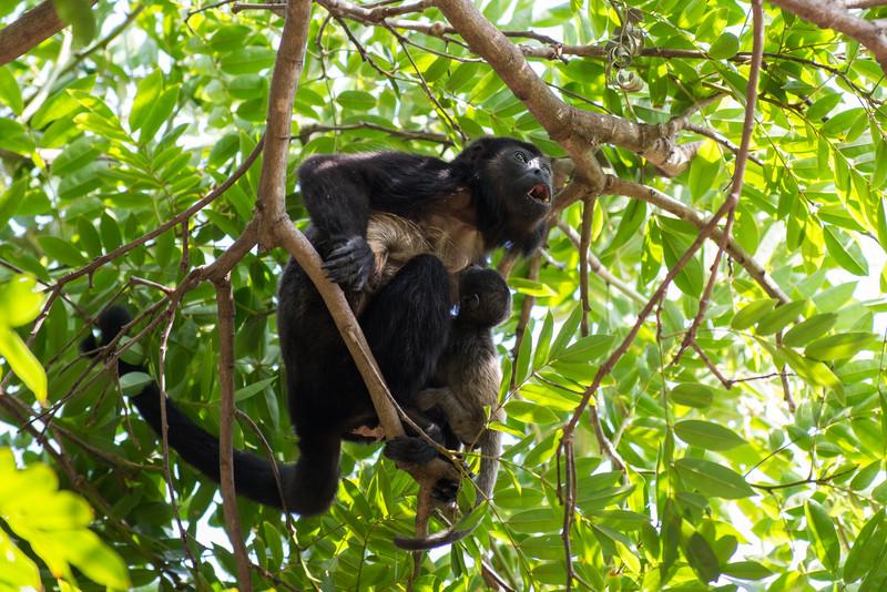 Howler Monkey feeding her baby