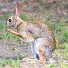 Huge Swamp Rabbit
