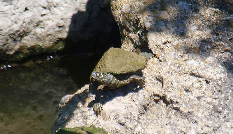 I Saw A Mississippi Map Turtle