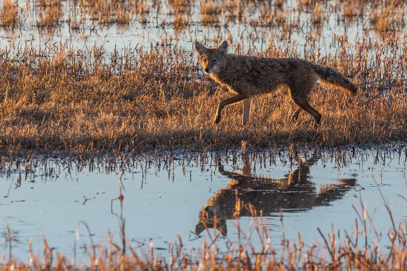 Bosque del Apache Coyote