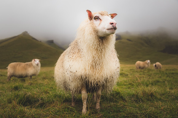 Icelandic Sheep. Vik, Iceland