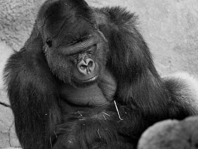 Gorilla Black & White