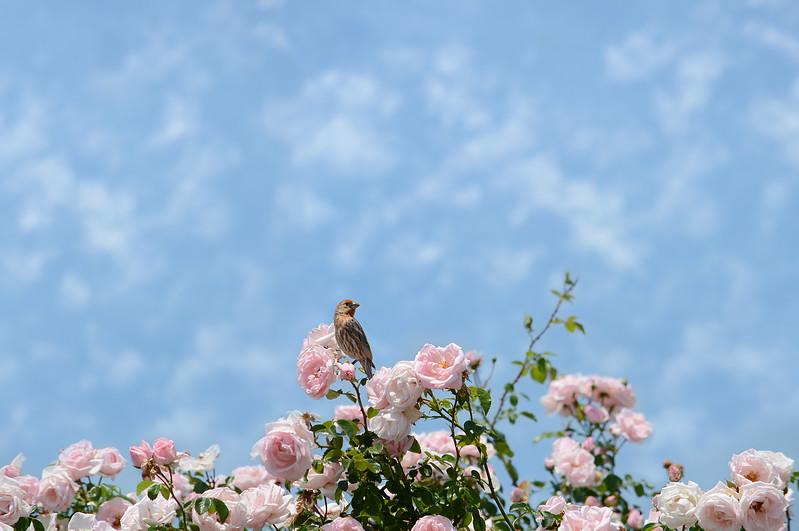 Bird sitting on blooming roses.