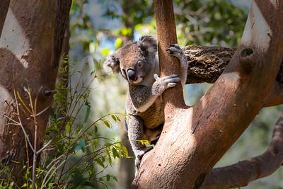 Climbing Koaloa || Sydney