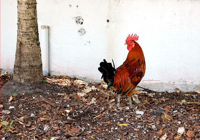 Key West Rooster 2012