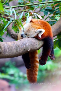 Snoozing Red Panda