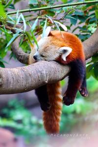 Snoozing Red Panda