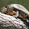 Up Close & Personal With A Red-eared Slider