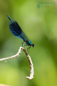 Beautiful male Banded Demoiselle( Calopteryx splendens) with copy space.