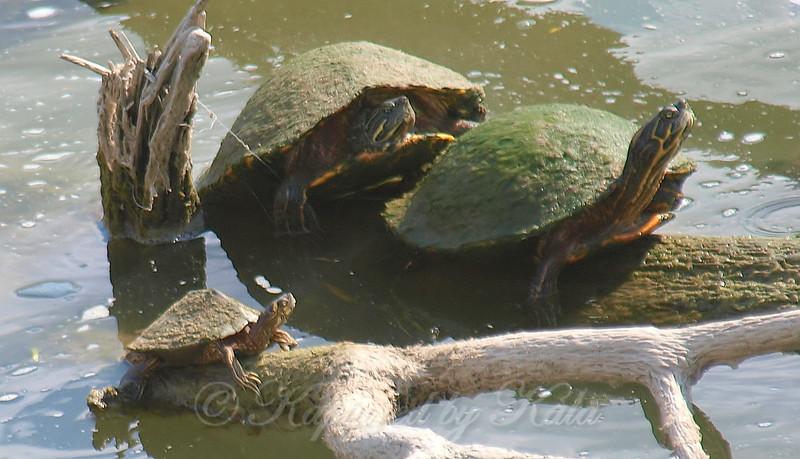 Male Ouachita Map Turtle