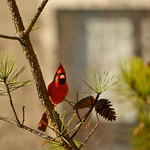 Beautiful  red bird  (Northern Cardinal sitting on pine tree branch.