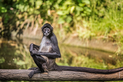 Portrait of Geoffroy's spider monkey